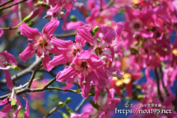 鮮やかな濃いピンク色の花-トックリキワタ-