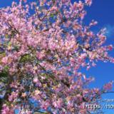 青空と満開の花-トックリキワタ-