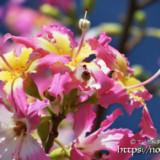 可愛いピンク色の花-トックリキワタ-