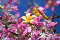青空に映えるピンクの花-トックリキワタ-