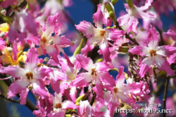 競い合うように咲く花-トックリキワタ-