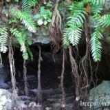 ガジュマルの根が垂れ下がる入り口-牧山陣地壕