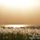 金色に輝くサトウキビの穂