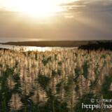 夕日に輝くサトウキビの穂