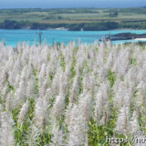 さとうきびの穂と青い海