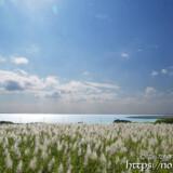 穂の出揃ったサトウキビ畑と青い海
