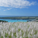 サトウキビの穂と青い海