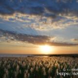 夕日を浴びて金色に輝くサトウキビの穂