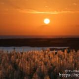 夕日に赤く染まるサトウキビの穂