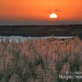 サトウキビの穂と沈む夕日