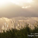 輝くサトウキビの穂と天使の梯子