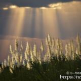 金色に輝くさとうきびの穂と天使の梯子