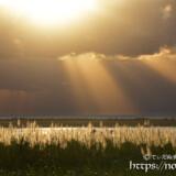 金色に輝くサトウキビの穂と天使の梯子