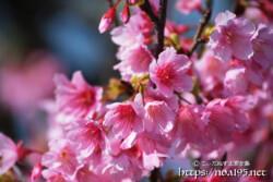 ピンク色の可憐な寒緋桜