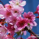 青空と可憐な寒緋桜の花