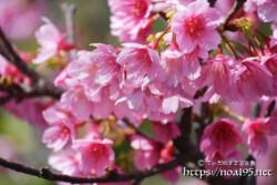 うつむき加減に咲く寒緋桜の花