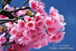 寒緋桜のブーケ