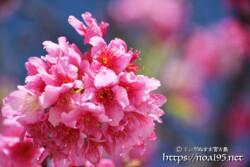 濃いピンク色の寒緋桜