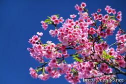 青空と満開の寒緋桜