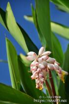 月桃の花と青空に伸びる葉