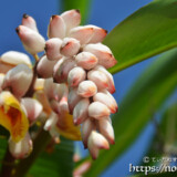 月桃の花と可愛いつぼみ