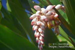 月桃の葉とつぼみ