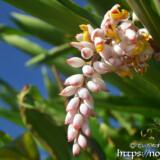 かんざしのような月桃の花