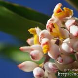 開きかけた月桃の花