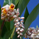 月桃の花とつぼみ