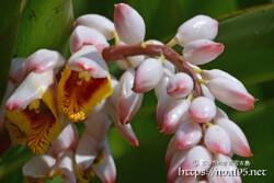 月桃の花と陶磁器のようなつぼみ