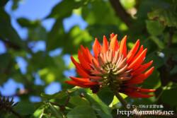光を浴びるデイゴの花