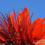 デイゴの花びらと雄しべ
