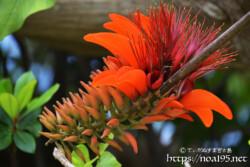 沖縄の県花-エキゾチックなデイゴの花