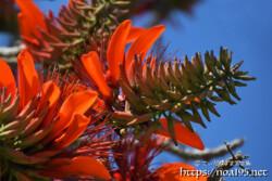 デイゴの花と青空