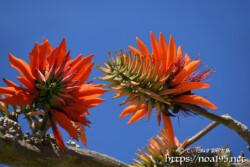 青空と真紅のデイゴの花