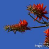 輪になって咲くデイゴの花