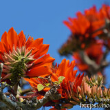 青空に映える真紅のデイゴの花