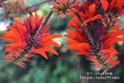 デイゴの枝と花