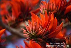 デイゴの花々