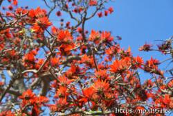満開のデイゴの花々