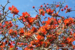 咲き乱れるデイゴの花々