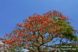 満開のデイゴの大木