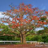 大きく枝を広げたデイゴの大木