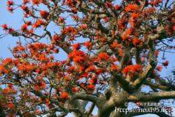 デイゴの花々と大木の幹